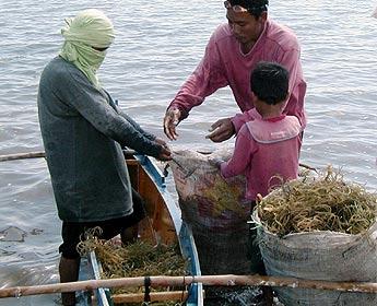 (Foto referencial) Veda para detener depredación de algas marinas.
