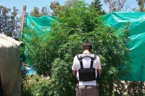 Hallan marihuana en Sachaca