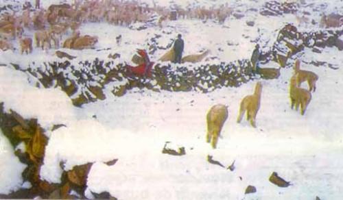 El año pasado murieron 4 mil crías de alcapa cuando la temperatura estaba en -16°C grados. Este año, según Senamhi llegaremos a -18°C.