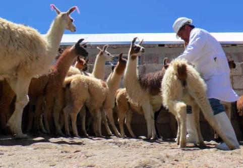 alpacas-camal
