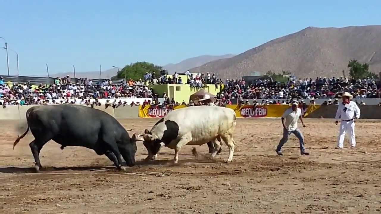 peleas de toros