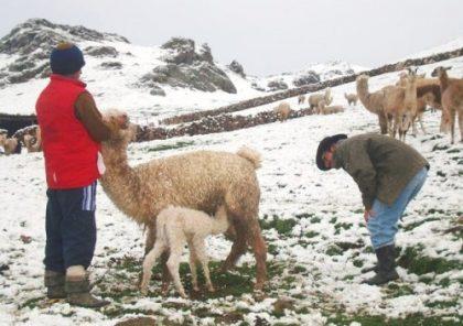 Ola de frío ya cobró la vida de 5 mil 900 alpacas en Arequipa