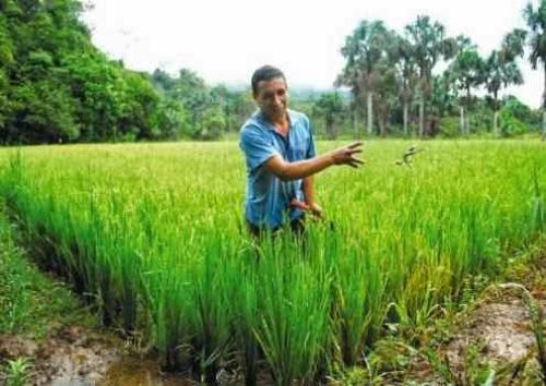 arroz piura