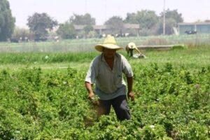 Capacitan a agricultores en el valle de Tambo para aumentar su productividad