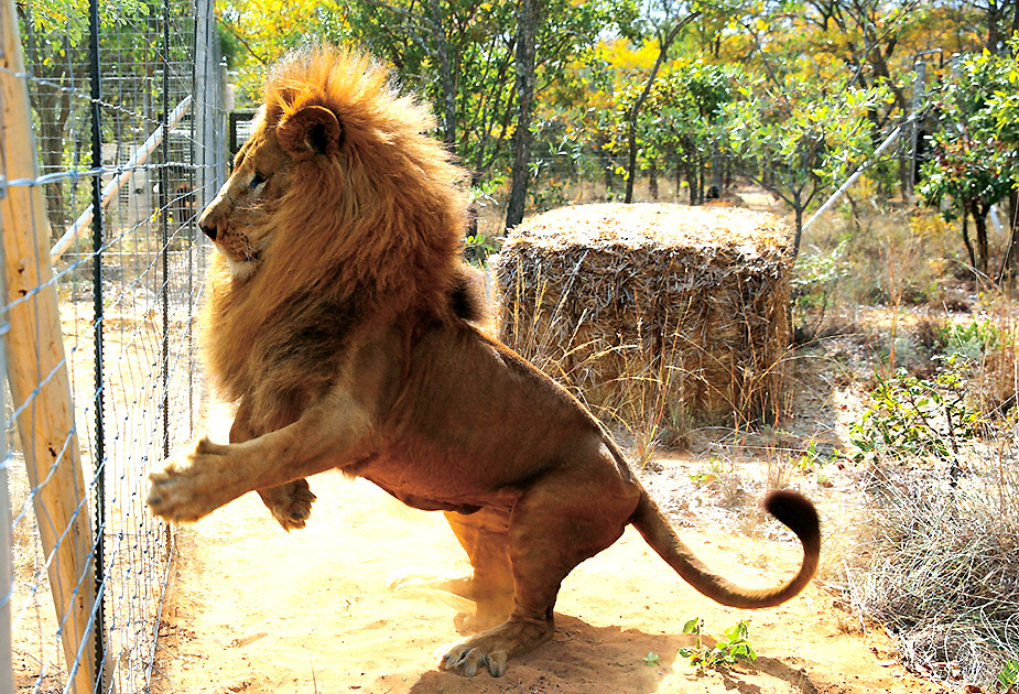 One of the 33 lions rescued from circuses in Peru and Columbia reacts after being released at its final destination at the Emoya Big Cat Sanctuary, outside Vaalwater in South Africa's northern Limpopo province, May 1, 2016. REUTERS/Siphiwe Sibeko