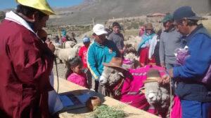 Celebran inicio del Año Andino en Orcopampa con matrimonio de ovinos