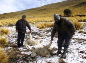 Más de 18 mil cabezas de ganado han muerto por bajas temperaturas en la región Arequipa