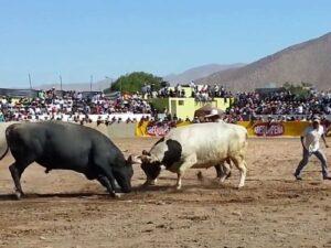 VIDEO. Peleas de toros recaudan 9 millones anuales y afirman tener mayor cuidado que animalistas