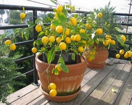 macetero-de-limon