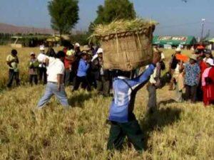 Valle de Tambo disminuirá en 30% cosecha de arroz por escasez de agua