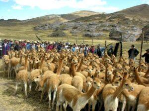 Promueven Chaccu de Vicuña para aumentar el turismo en Pampamarca