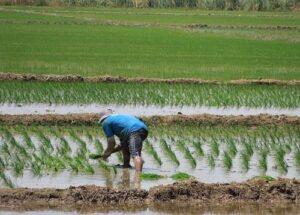 Prevén incremento en precio de arroz por problemas hídricos en Tambo
