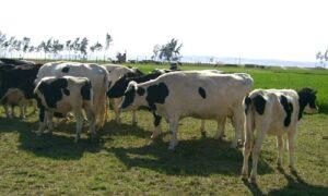 Alfalfa con insecticida redujo en 50% producción de leche en Majes