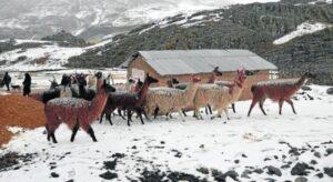 Vacunarán 56 mil alpacas y llamas para prevenir mortandad por heladas