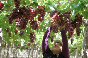 Empresarios brasileños muestran interés en cebolla, ajo y uva de Arequipa