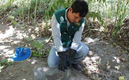 Declaran provincia de Arequipa en emergencia por presencia de roedores