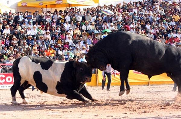 pelea de toros