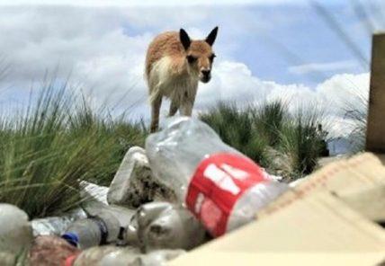 Salinas y Aguada Blanca: Interoceánica provoca muerte de vicuñas y contaminación