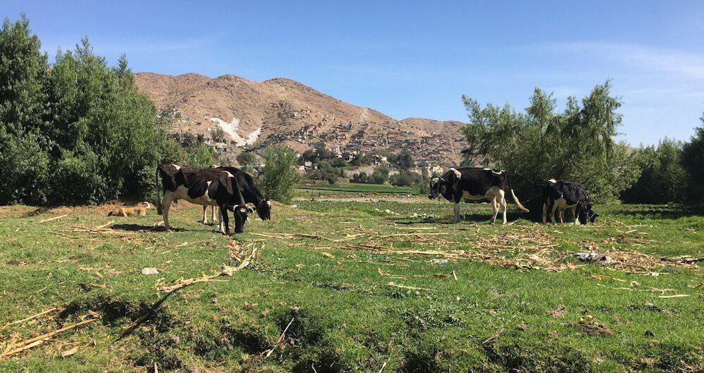 Arequipa Cerro Verde Río Chili ganado enfermo