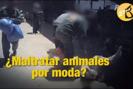 Video muestra maltrato a alpacas cuando son trasquiladas en Puno