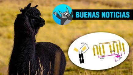 Estudio confirma que anticuerpos de llamas y alpacas neutralizan al covid