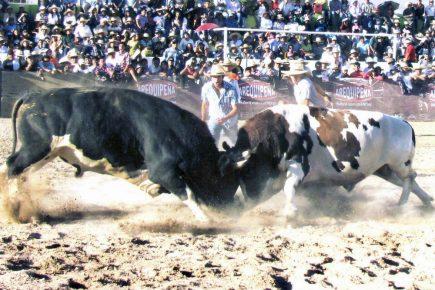 """Arequipa: vuelven las peleas de toros, ahora en formato """"virtual"""""""