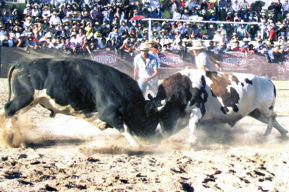 arequipa cayma peleas de toros