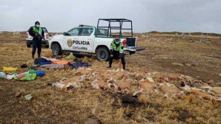 Arequipa: caza furtiva está acabando con la población de vicuñas
