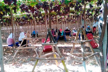 Ica: Sunafil encuentra a más de 500 trabajadores ocultos en fundos de empresas