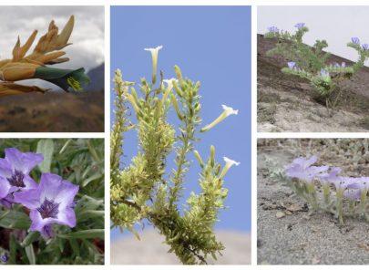 Descubren 5 nuevas especies de plantas que solo crecen en Arequipa
