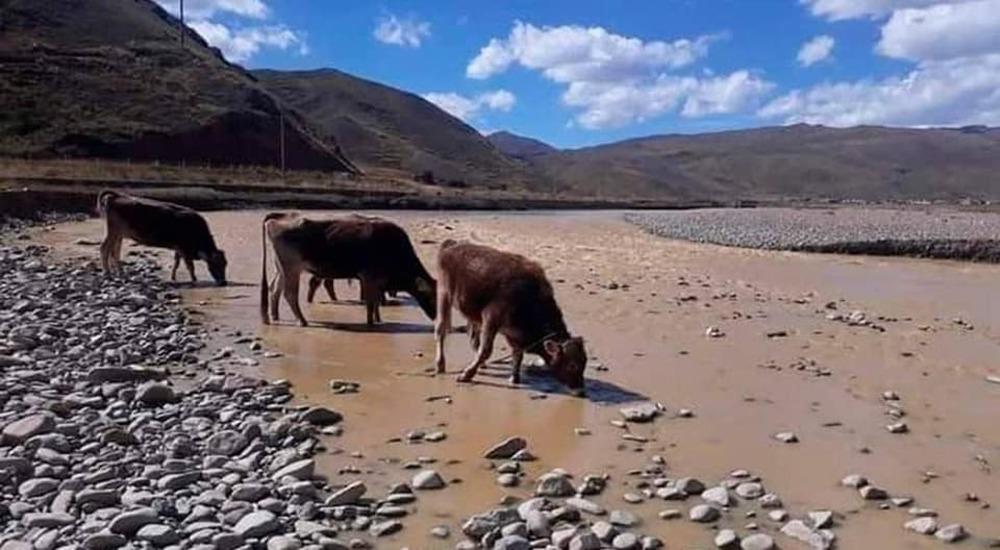 Contaminación del río Ramis afecta a los animales y a los pobladores de la zona, en Puno.