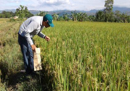 Arequipa: Prometen regalar fertilizante para impedir alza de precio del arroz